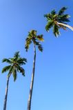 Palms on a background of blue sky Royalty Free Stock Image