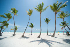 Palms on a beach. Palms on dominican white sand beach Stock Photo