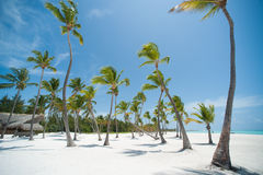 Palms on a beach. Palms on dominican white sand beach Stock Photography