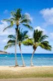 Palms. Beach with palm trees in Hawaii Stock Image