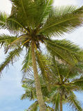 Palms. Beautiful palms tree with cocoes Stock Photos