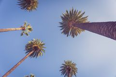 Palms of Beverly Hills. Bottom view on Palms of Beverly Hills against blue sky with copy space in the center stock photography