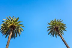 Palms of Beverly Hills. Vintage Rodeo Drive Beverly Hills Palm Trees Los Angeles California against blue sky royalty free stock image