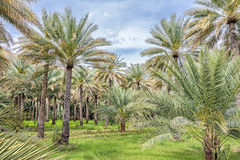 Palms Birkat al mud Royalty Free Stock Photo