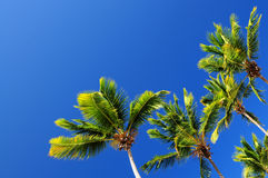 Palms on blue sky Stock Image