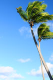 Palms on blue sky Stock Photos