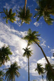 Palms on blue sky. Tobago palms beach carribien west indies green sea road on beach Royalty Free Stock Photos
