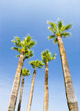 Palms on blue sky background Stock Image