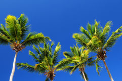Palms on blue sky background Stock Photography