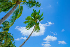 Palms on blue sky background. Tall palm trees on tropical island, Philippines, Southeast Asia Royalty Free Stock Image