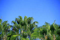 Palms on blue sky Royalty Free Stock Photo