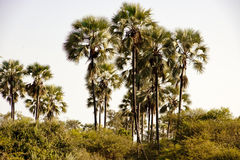 Palms in Botswana Royalty Free Stock Images