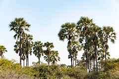 Palms in Botswana. Beautiful landscaspe with palm trees, Botswana, Africa Royalty Free Stock Photo