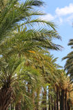 Palms in the Cannes, France Royalty Free Stock Image