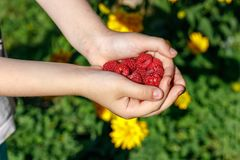 In the palms of the child red raspberry berries stock image