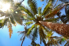 Palms with coconuts Royalty Free Stock Images