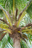Palms with coconuts at China Beach in Danang in Vietnam. Palms with coconuts at the China Beach in Danang in Vietnam. It is also called Non Nuoc Beach Stock Photography