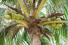 Palms with coconuts on China Beach in Danang in Vietnam. Palms with coconuts on the China Beach in Danang in Vietnam. It is also called Non Nuoc Beach Stock Images