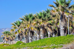 Palms in Cyprus. Palm trees by the ocean Stock Photography