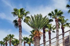 Palms in Cyprus. Palm trees by the ocean Stock Photo