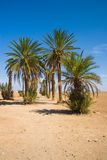 Palms in the desert Stock Photography
