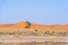 Palms in the dessert. Palms in the dunes of the desert Sahara in Morocco, Africa Stock Image