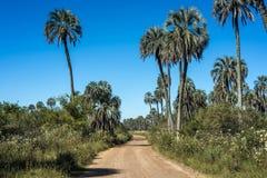 Palms on El Palmar National Park, Argentina Royalty Free Stock Photography
