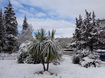 Palms and evergreen trees under snow. Unusually cold and snowy winter in southern Russia, palm and cypress trees in the snow Stock Photography