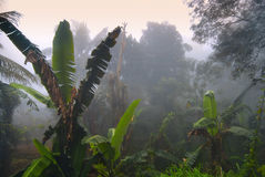 Palms in fog, Ella, Sri Lanka. Banana palms in morning fog, Ella, Sri Lanka Royalty Free Stock Image