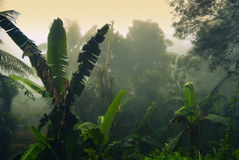 Palms in fog. Banana palms in morning fog, Ella, Sri Lanka Royalty Free Stock Photos