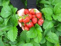 Palms full of strawberries Stock Photo