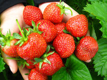 Palms full of strawberries Royalty Free Stock Photos