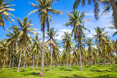 Palms on Gili,  Trawangan island, Indonesia Stock Photography