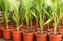 Palms in greenhouse. A lot of potted palms in greenhouse Stock Image