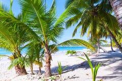 Palms grow on beach. Caribbean Sea Royalty Free Stock Image