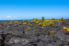 Palms growing on the lava flow, Hawaii Stock Photo