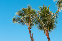 Palms Royalty Free Stock Image