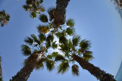 Palms. High palms on a beach in Malaga Royalty Free Stock Photo