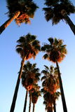 Palms in Hollywood Stock Photo