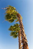 Palms at hurricane Stock Image