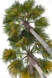 Palms isolated on white Royalty Free Stock Image