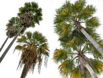 Palms isolated on white Royalty Free Stock Photos