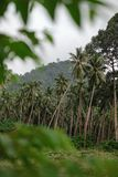 Palms in the jungle. Palm grove in the jungle in Thailand royalty free stock image