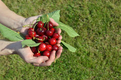 Palms of Just Picked Cherries Stock Photography