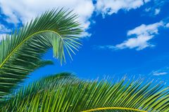 A palms leaves on the blue sky background. NBeautiful tropical summer view Stock Photos