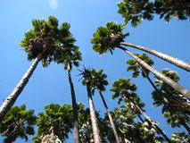 Palms looking up. Tropical palm trees tall looking up from low area blue sky green palm frawns Stock Photo