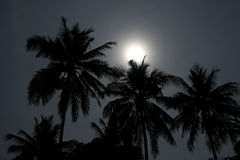 Palms in moonlight Royalty Free Stock Images