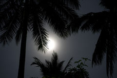 Palms in moonlight. Palm trees in the moonlight Stock Image