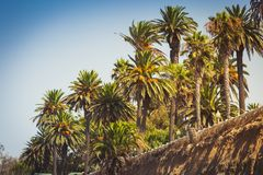 Palms in Palisades park in Santa Monica Stock Images