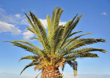 Palms of a palm tree Royalty Free Stock Photo